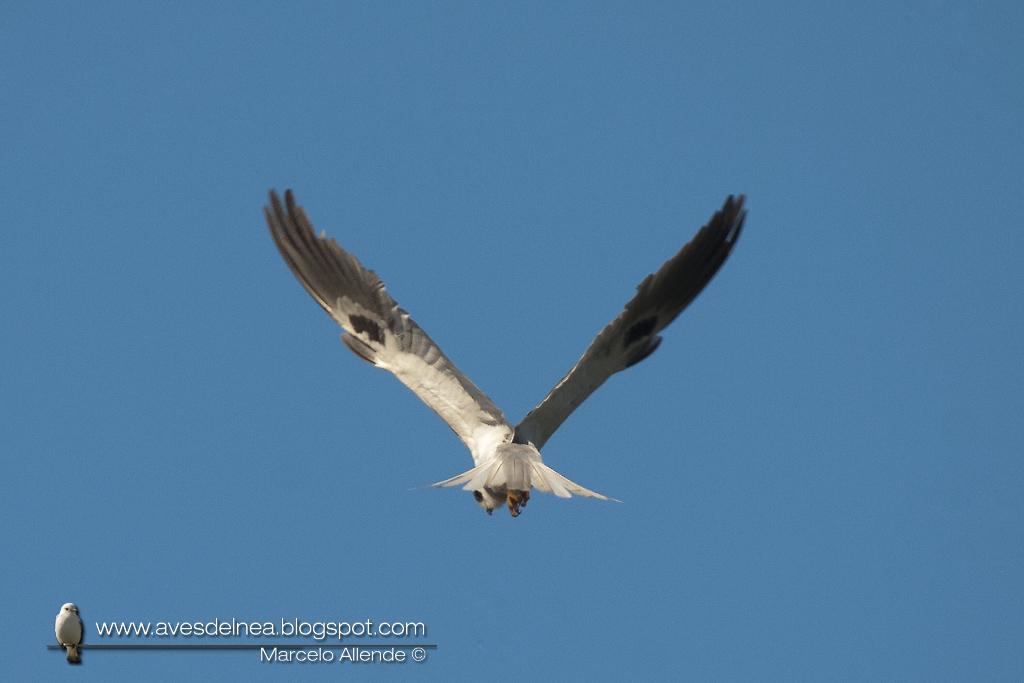 Milano blanco (White-tailed Kite) Elanus leucurus
