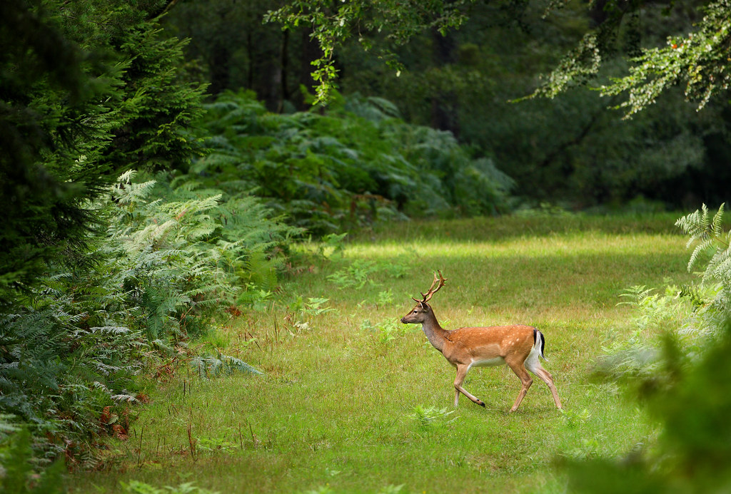 Fallow Buck, Woodland Glade