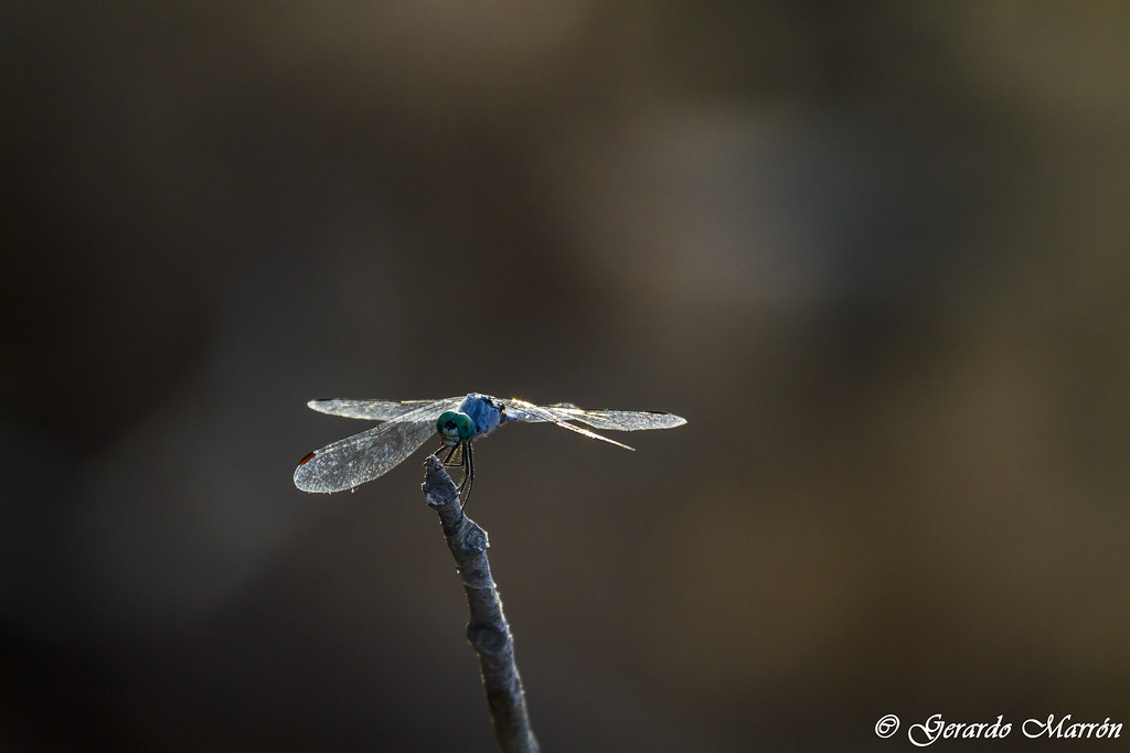 Micrathyria aequalis