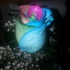 Mr. Paw brought me home a beautiful tye-dyed rose. <3 #flower #tyedyed #rose #besthusband