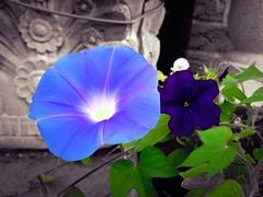 Morning glory #flower #morningflower #colorsplash #flowers #blue