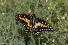 Butterfly at Redwood Shores