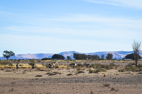 Oryx of the desert