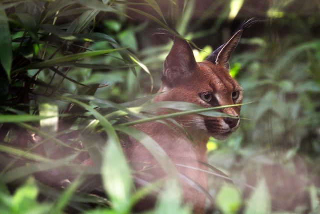 Caracal in the Grass