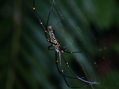 arthropod, animal, spider, nature, invertebrate, insect, macro photography, european garden spider, green, fauna, close-up, orb weaver spider,