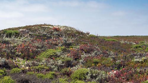 Moss Landing Dunescape