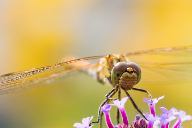 [138] Dragonfly
