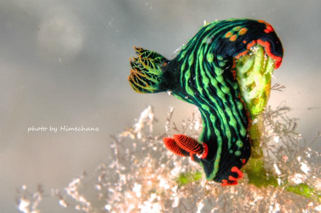 アカフチリュウグウウミウシ photo by Nikon D300