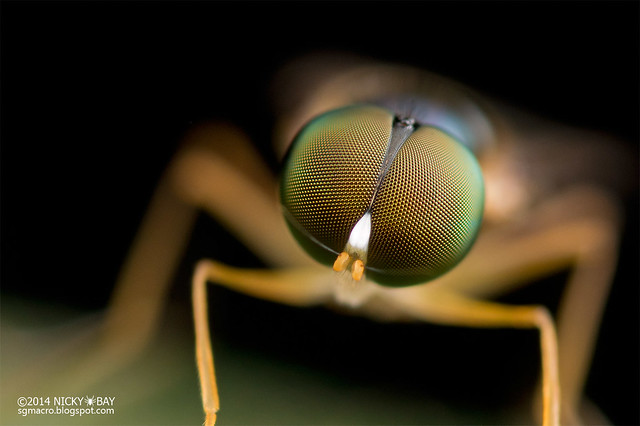 Soldier Fly (Stratiomyidae) - DSC_3709b