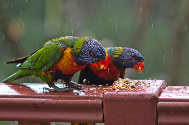 Lorikeet pair (LZ)