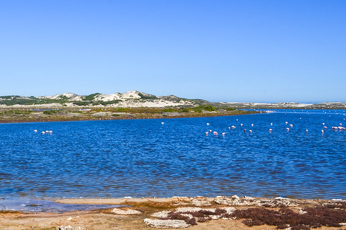 Flamingoes near Lambert's Bay