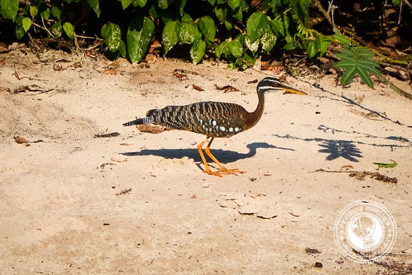 sunbittern Brazilian Amazon