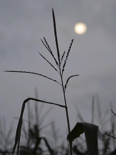 harvest moon predawn