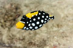 Juvenile Clown Triggerfish (Balistoides conspicillum) Okinawa-Japan