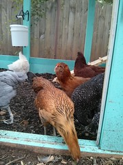 bakyard chickens