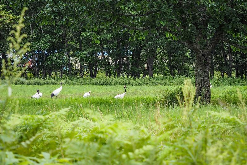 Red crested Japanese cranes near Tsurui, Hokkaido, Japan