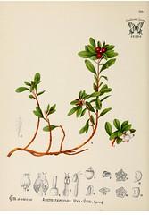Uva-ursi, Bear berry, kinnikinnick. Arctostaphtylos uva-ursi. American medicinal plants, - an illustrated and descriptive guide to the American plants used as homopathic remedies, vol. 1 (c1887)