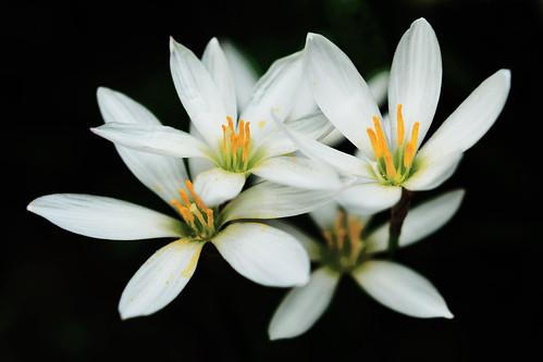 White Rain Lily (Zephyranthes candida) / タマスダレ(玉簾)