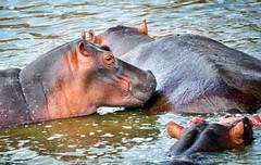 Hippos, Uganda