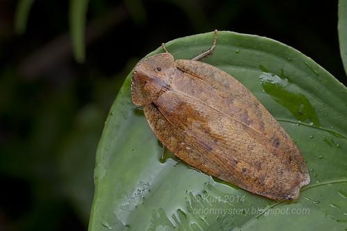 Pseudophoraspis sp.? IMG_2413 copy