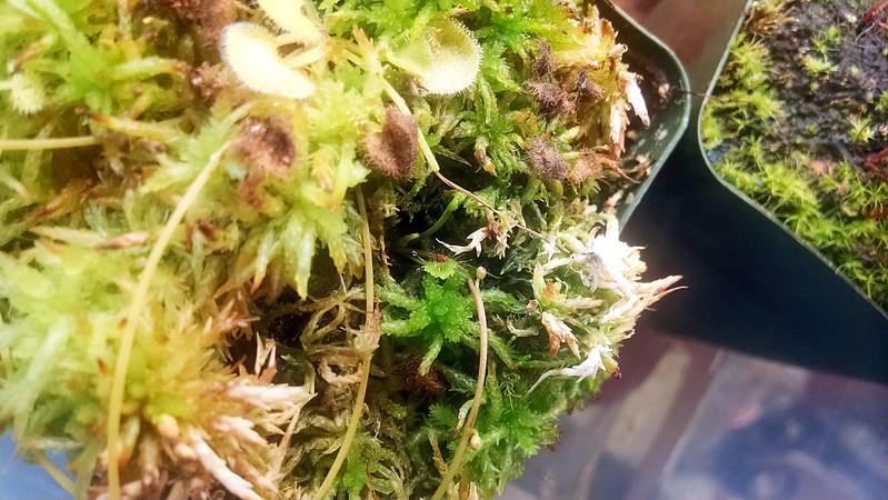 Drosera prolifera being fed.