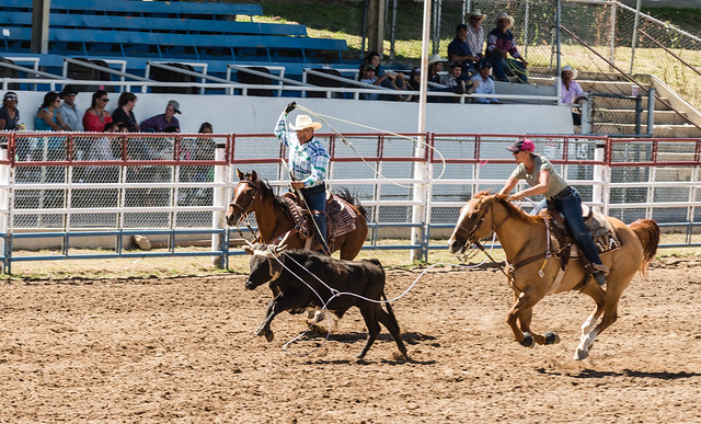 Roping at Prescott Rodeo Grounds 2