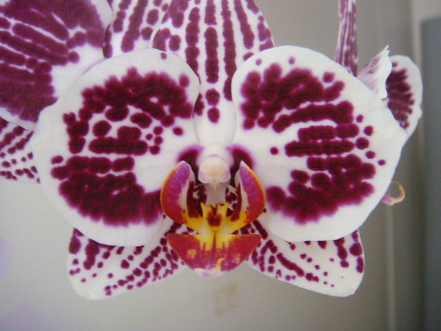 Flowers - Orchid - Orchidea by Gianni Del Bufalo (CC BY-NC-SA)