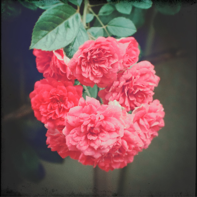 Rose (the fairy)