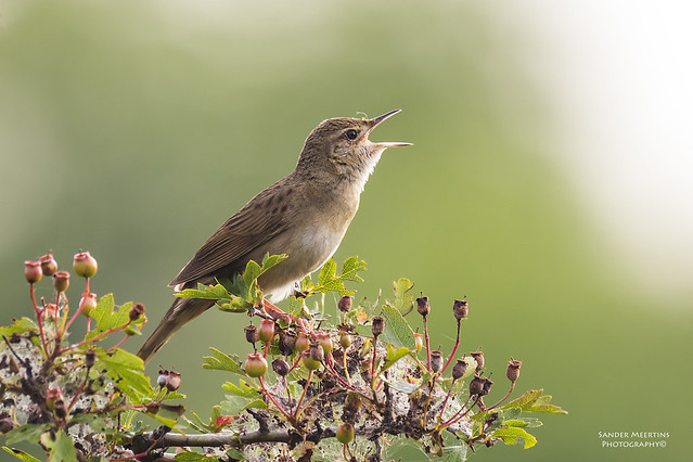 Common Grasshopper Warbler (Explore)