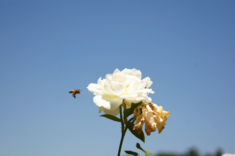 Bee and rose.