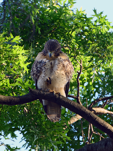 Cathedral Hawk Fledgling - 2994