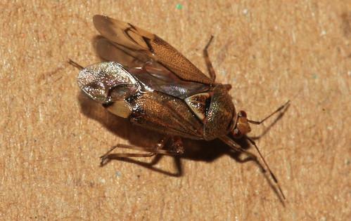 Deraeocoris flavilinea 29381