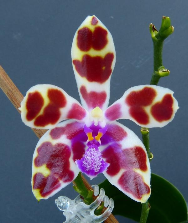 Phalaenopsis mariae - Seite 3 14377580341_a321fa6f49_o