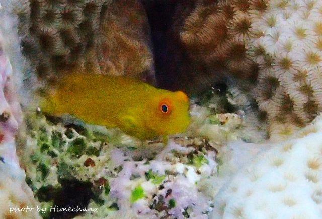 インドカエルウオの幼魚がヨチヨチ♪