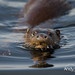 Otter - Isle of Skye (Lutra lutra) 1661 by Highland Andy (Andy Howard)