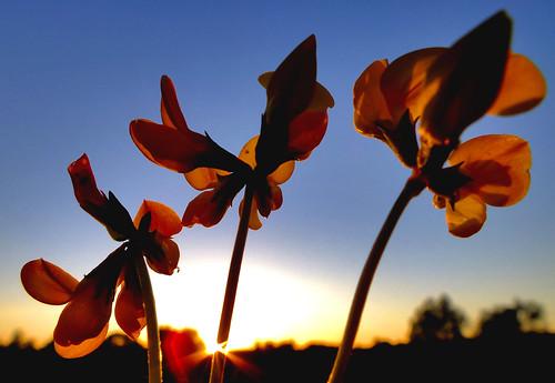 flowers sunset wild macro field silhouette yellow sunrise fuji dusk northamptonshire silhouettes finepix fujifilm cor northants starburst vide hs20 meum markcoleman hs20exr mac010665yahoocouk videcormeumimages ilobsterit markandrewcoleman