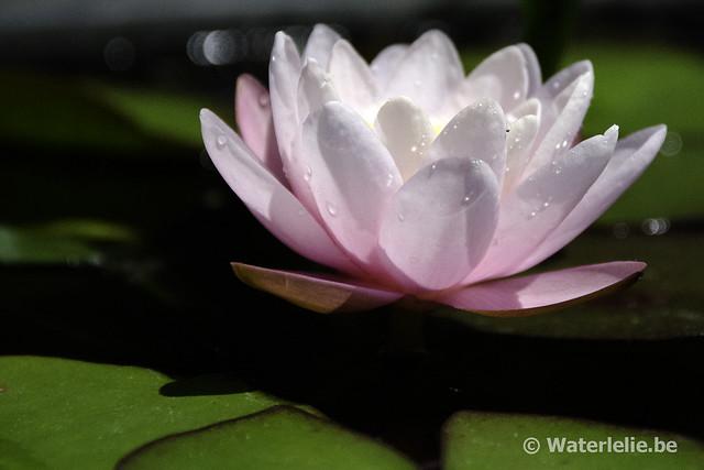 Waterlelie Candidissima Rosea / Nymphaea Candidissima Rosea