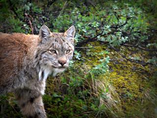 Smiling Lynx!