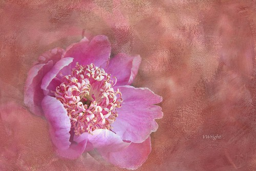 Peony in camouflage
