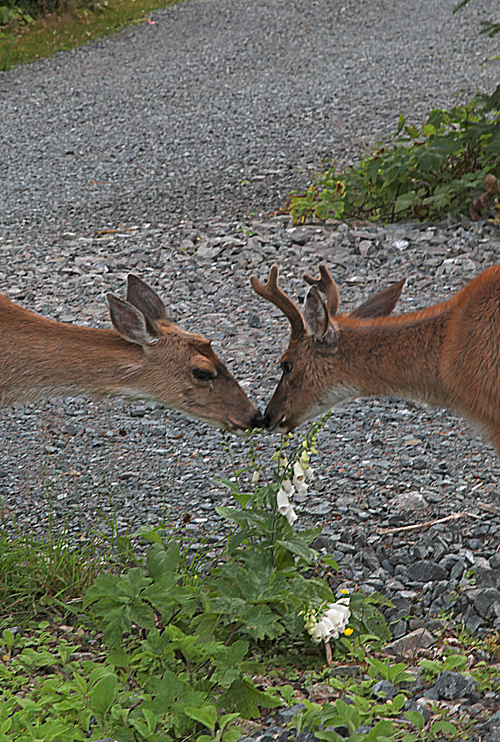 two deer kissing in Kasaan, Alaska