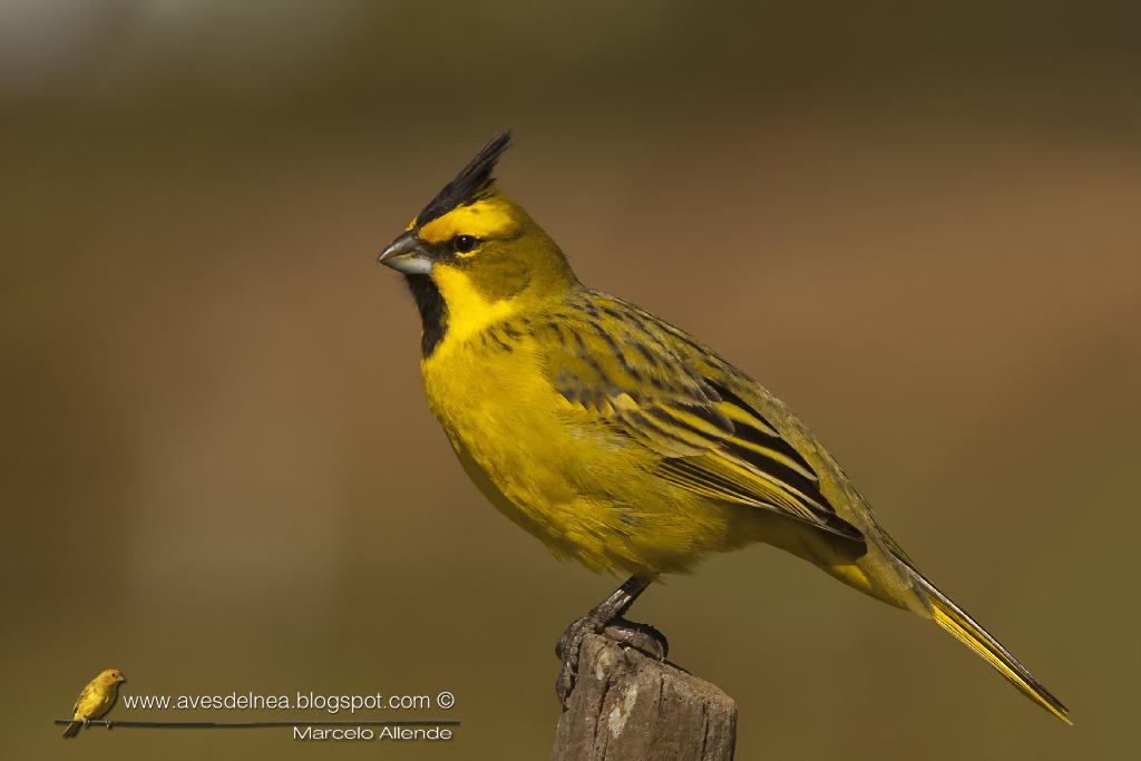 Cardenal amarillo ( Yellow Cardinal ) Gubernatrix cristata