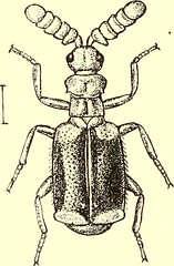 """Image from page 479 of """"Coleoptera : general introduction and Cicindelidae and Paussidae"""" (1912)"""