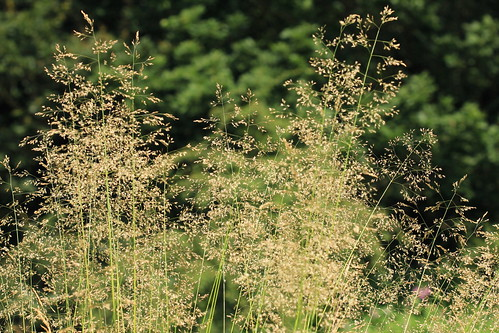 Tufted Hair-grass 30570