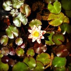 #flower #nenuphare #avignon #vaucluse #france #igersfrance #detail