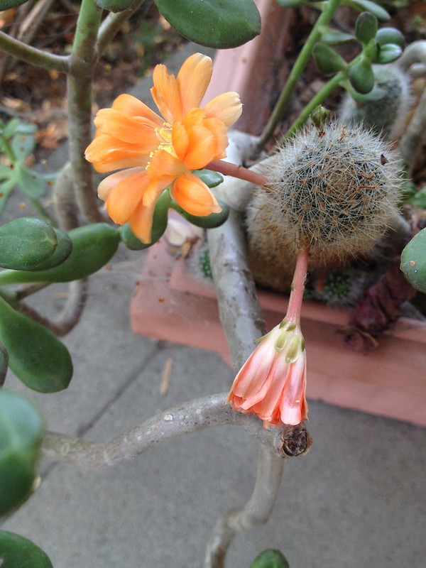 Flowering Now: Cactus Flower - 1