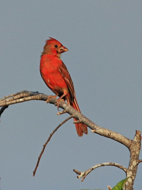Northern Cardinal immature male 3-20140901