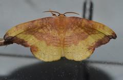 # 6255 – Oreta rosea – Rose Hooktip Moth