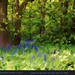 in Englands ancient bluebell woods, in Spring by Tony / Guy@Fawkes