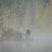 Bull moose in the mist