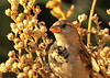 High Line House Sparrow